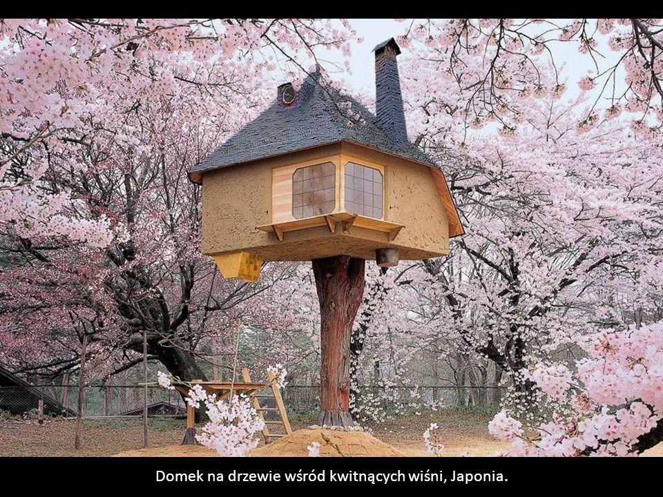 Domek na drzewie wśród kwitnących wiśni, Japonia.