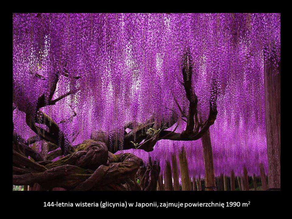 144-letnia wisteria (glicynia) w Japonii, zajmuje powierzchnię 1990 m2