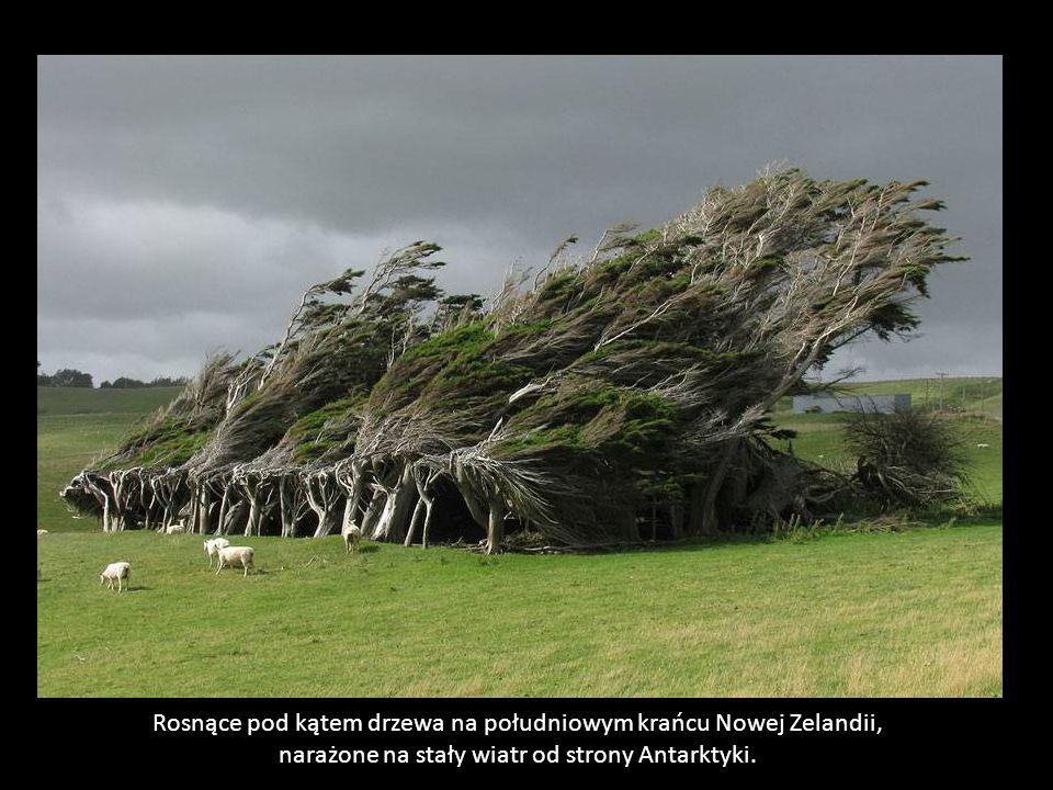 Rosnące pod kątem drzewa na południowym krańcu Nowej Zelandii,