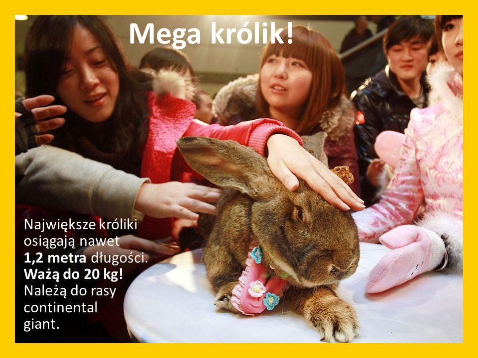 Mega królik. Największe króliki osiągają nawet 1,2 metra długości.