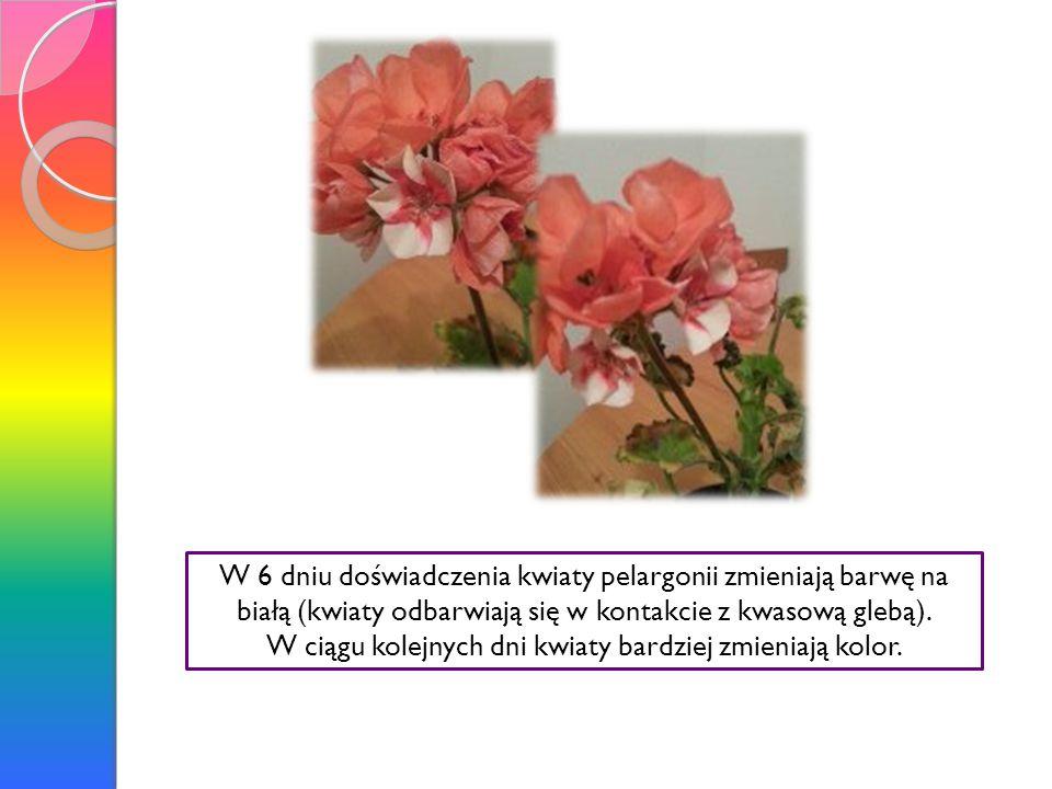 W ciągu kolejnych dni kwiaty bardziej zmieniają kolor.