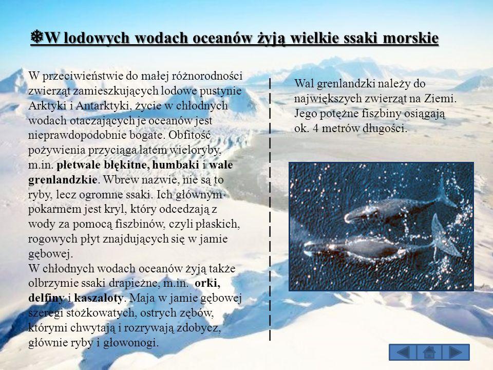 ❅W lodowych wodach oceanów żyją wielkie ssaki morskie