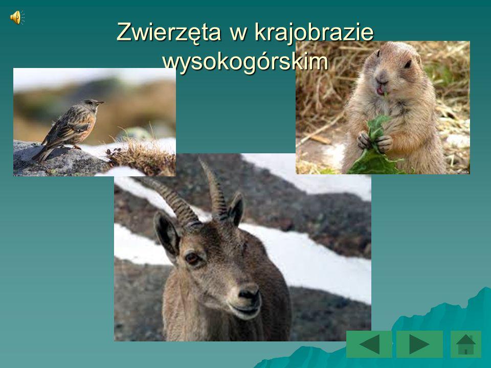 Zwierzęta w krajobrazie wysokogórskim