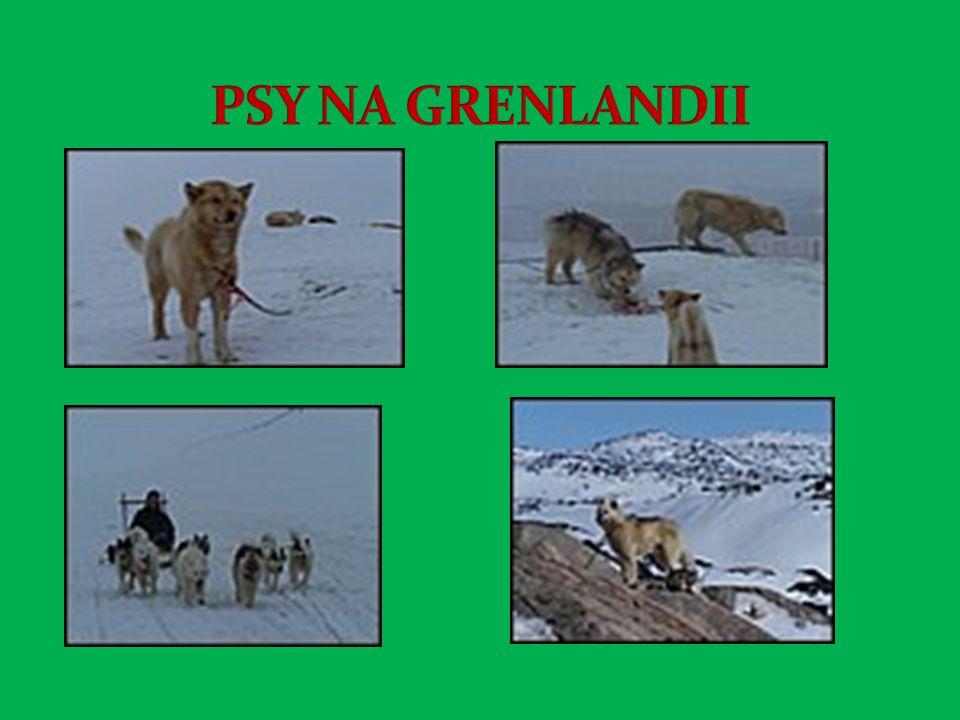 PSY NA GRENLANDII
