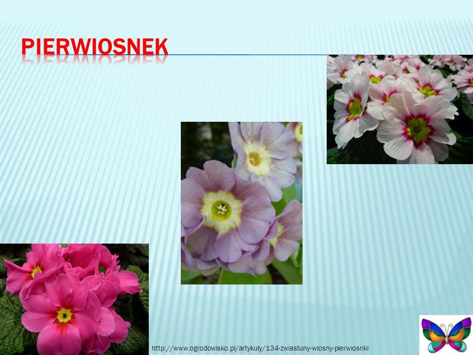 pierwiosnek http://www.ogrodowisko.pl/artykuly/134-zwiastuny-wiosny-pierwiosnki