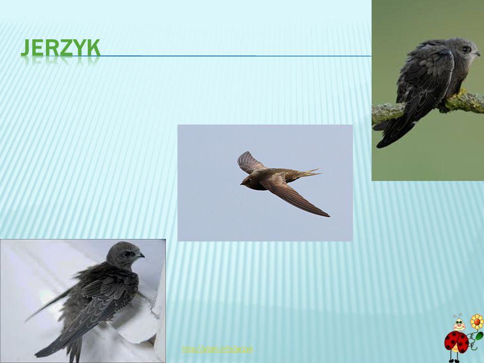 jerzyk http://ptaki.info/jerzyk