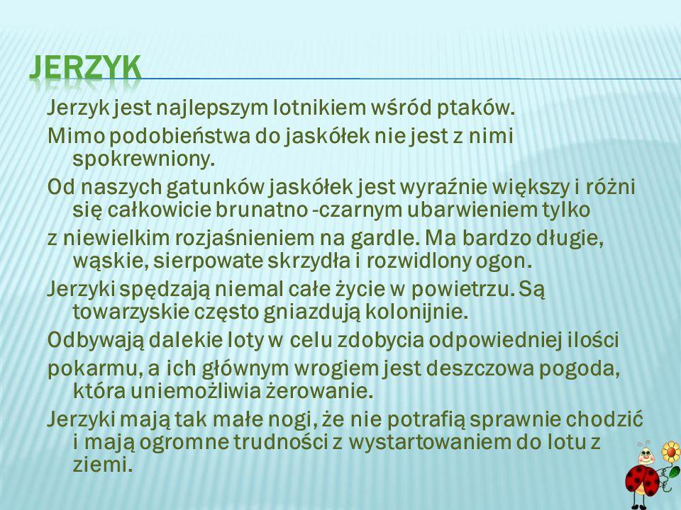 jerzyk Jerzyk jest najlepszym lotnikiem wśród ptaków.