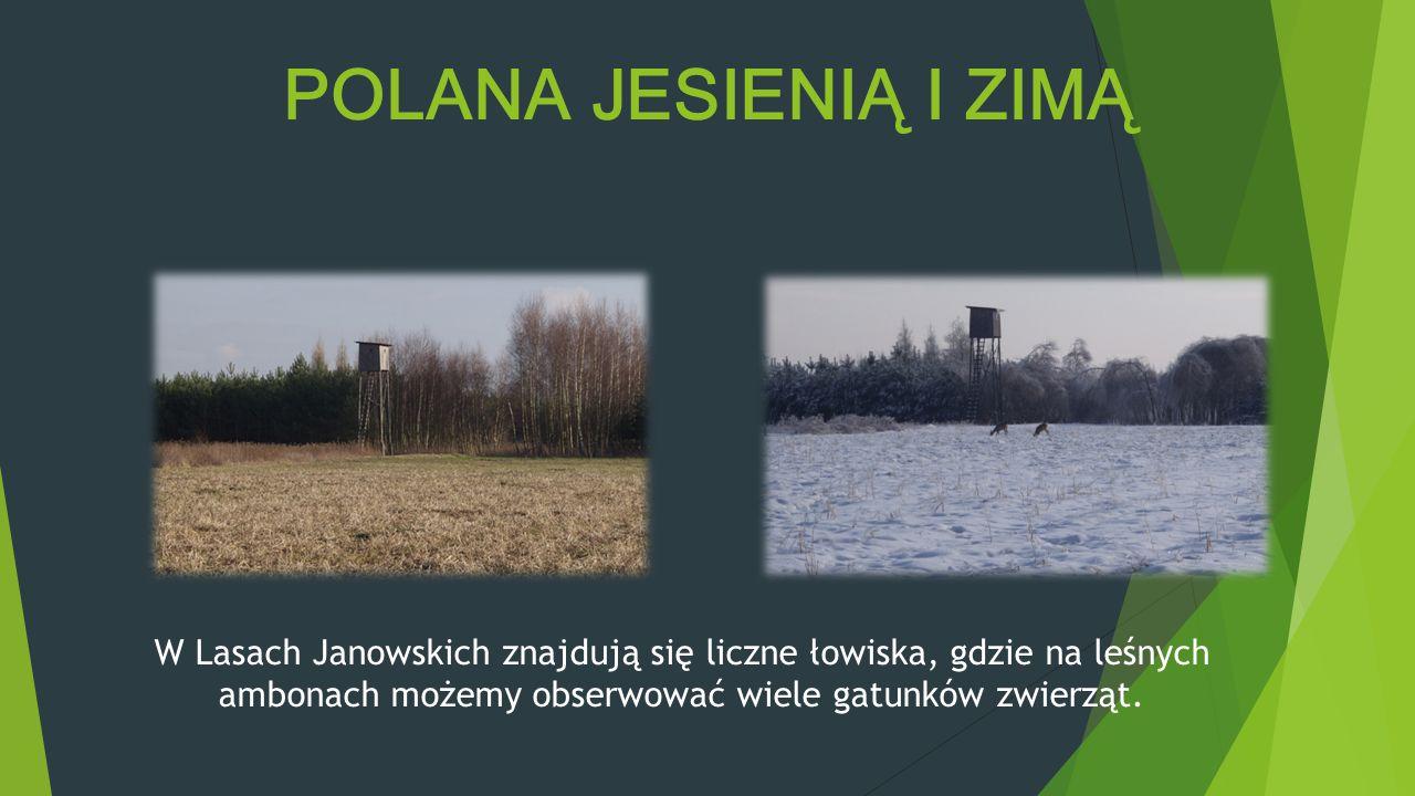 POLANA JESIENIĄ I ZIMĄ W Lasach Janowskich znajdują się liczne łowiska, gdzie na leśnych ambonach możemy obserwować wiele gatunków zwierząt.