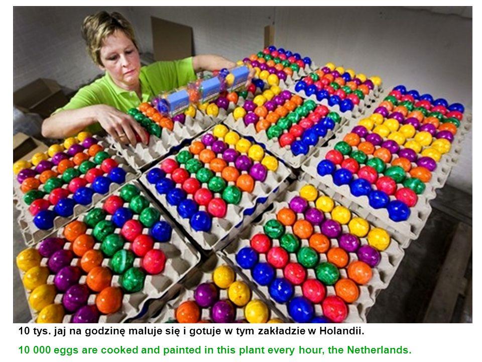 10 tys. jaj na godzinę maluje się i gotuje w tym zakładzie w Holandii.