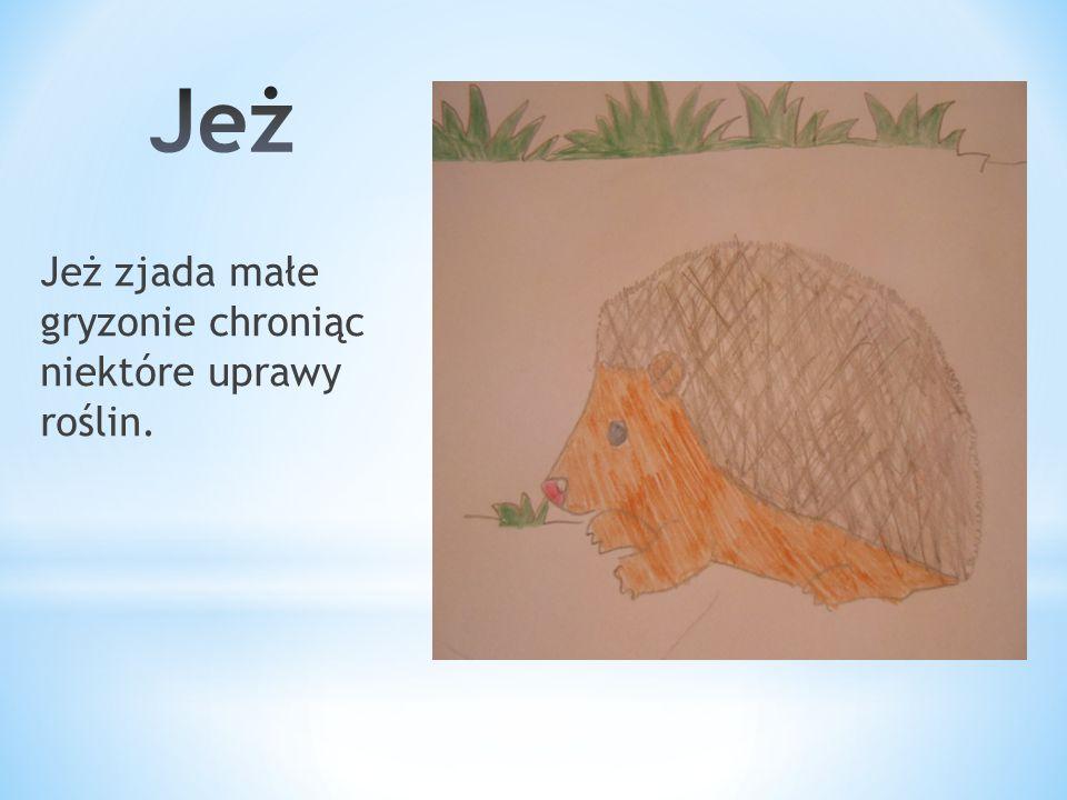 Jeż Jeż zjada małe gryzonie chroniąc niektóre uprawy roślin.