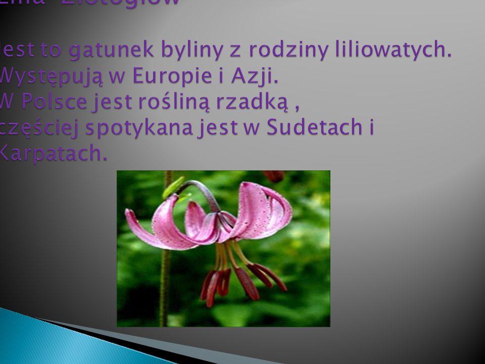 Lilia Złotogłów Jest to gatunek byliny z rodziny liliowatych