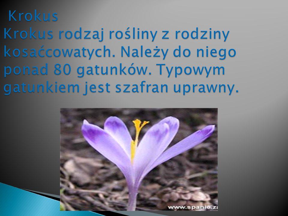 Krokus Krokus rodzaj rośliny z rodziny kosaćcowatych