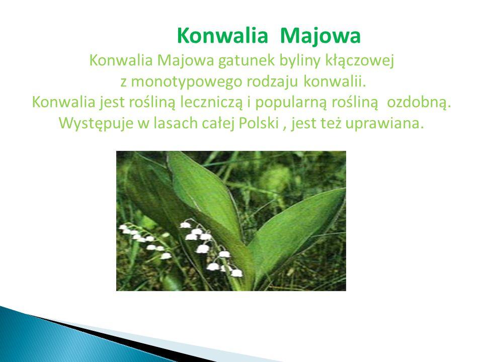 Konwalia Majowa gatunek byliny kłączowej