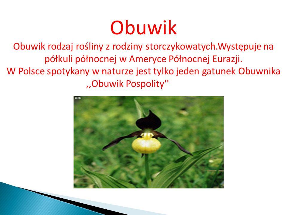 Obuwik Obuwik rodzaj rośliny z rodziny storczykowatych.Występuje na półkuli północnej w Ameryce Północnej Eurazji.