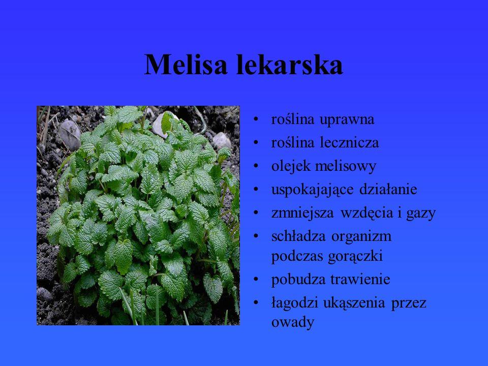 Melisa lekarska roślina uprawna roślina lecznicza olejek melisowy