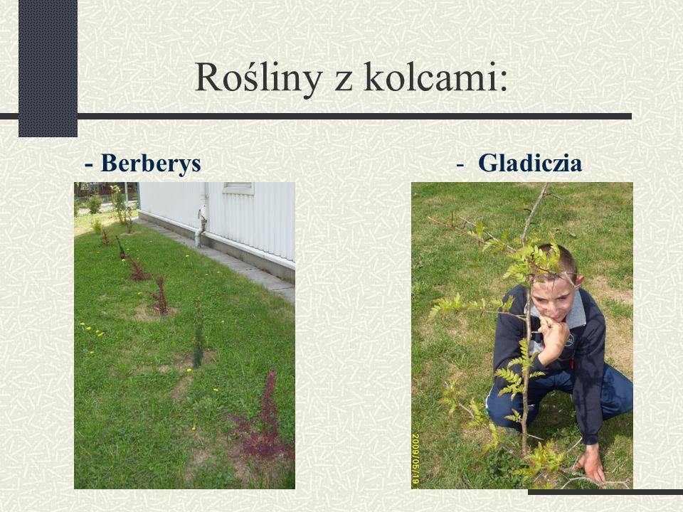 Rośliny z kolcami: - Berberys - Gladiczia