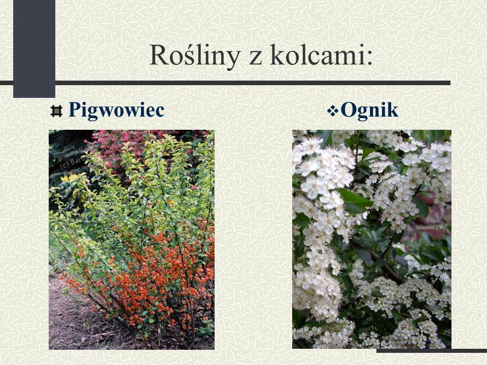 Rośliny z kolcami: Pigwowiec Ognik