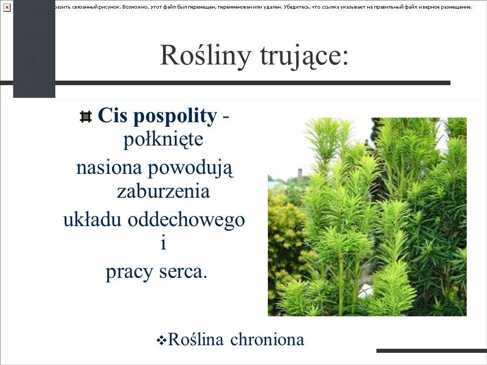 Rośliny trujące: Cis pospolity - połknięte nasiona powodują zaburzenia