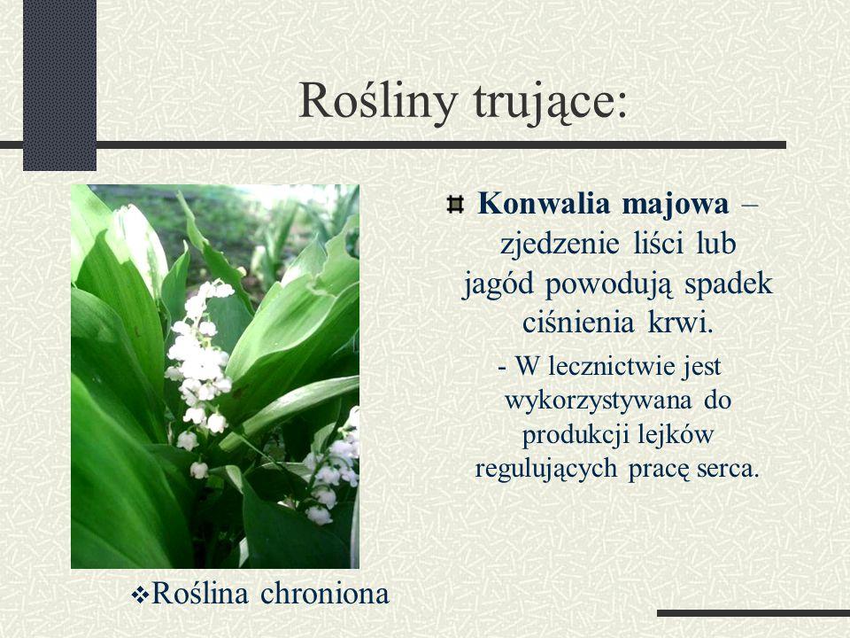 Rośliny trujące: Konwalia majowa – zjedzenie liści lub jagód powodują spadek ciśnienia krwi.