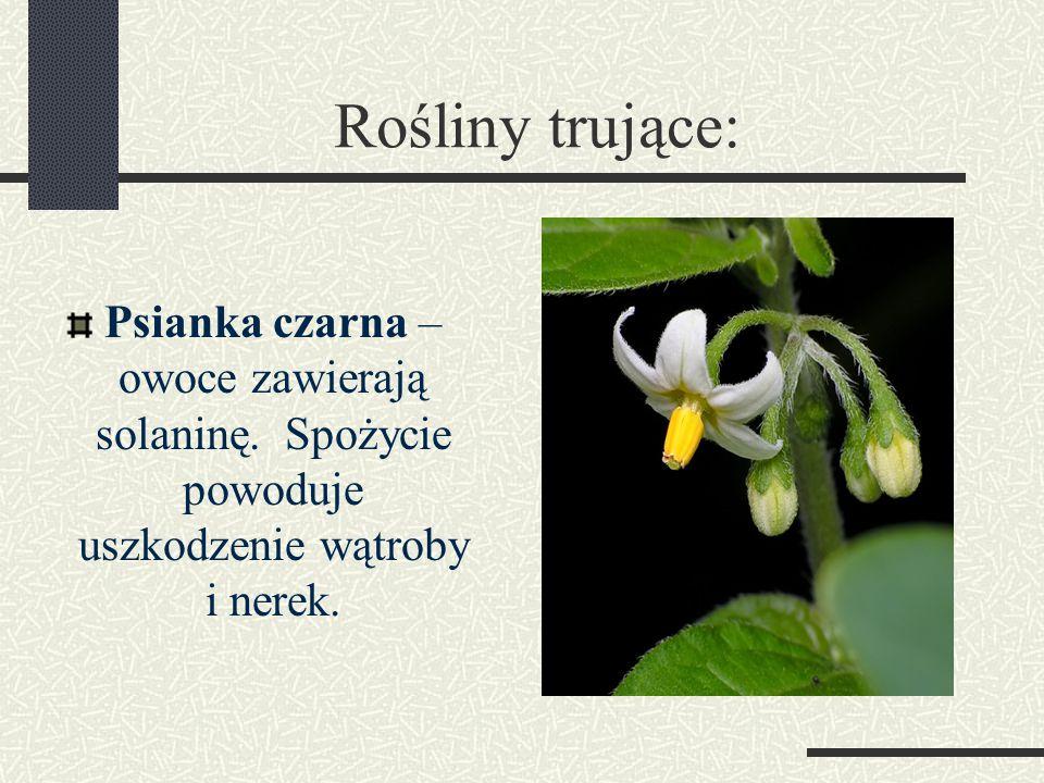 Rośliny trujące: Psianka czarna – owoce zawierają solaninę.