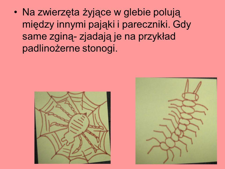 Na zwierzęta żyjące w glebie polują między innymi pająki i pareczniki