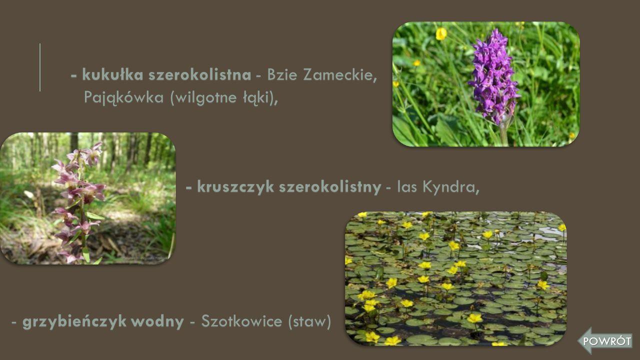 - kukułka szerokolistna - Bzie Zameckie, Pająkówka (wilgotne łąki),