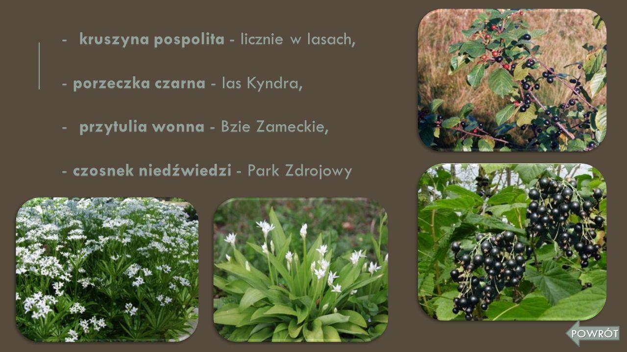 kruszyna pospolita - licznie w lasach,