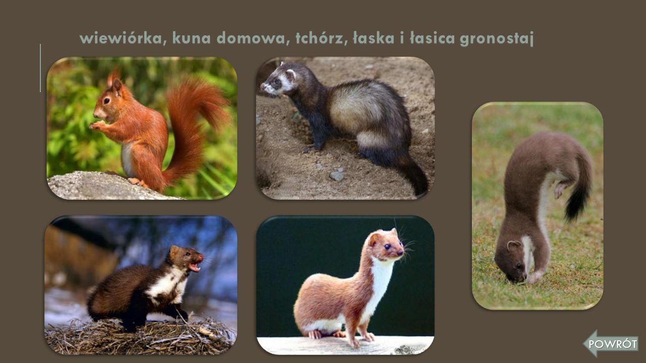 wiewiórka, kuna domowa, tchórz, łaska i łasica gronostaj