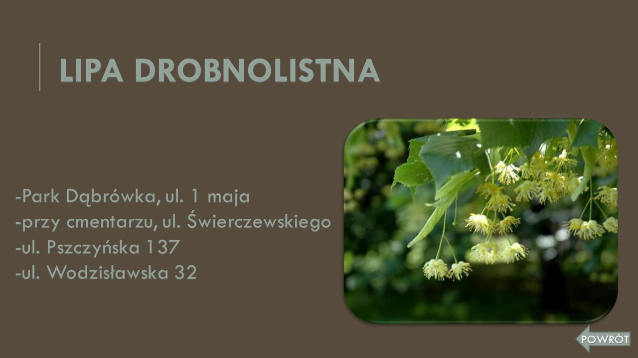 LIPA DROBNOLISTNA -Park Dąbrówka, ul. 1 maja