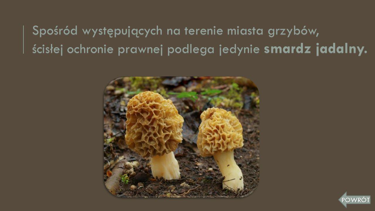 Spośród występujących na terenie miasta grzybów,