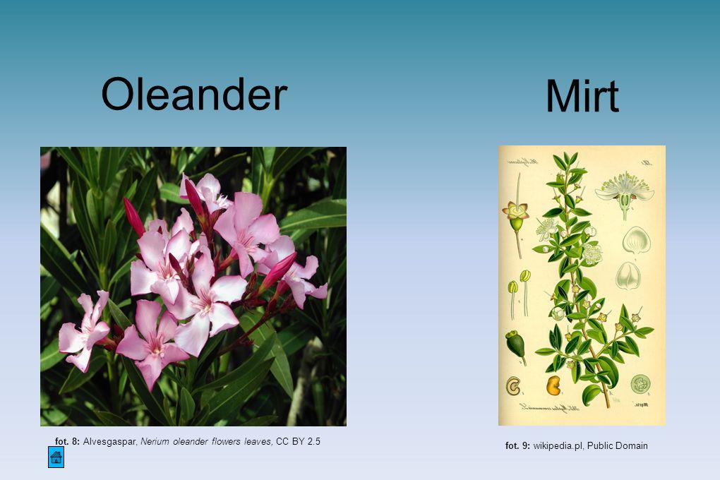 Oleander Mirt. fot. 8: Alvesgaspar, Nerium oleander flowers leaves, CC BY 2.5.