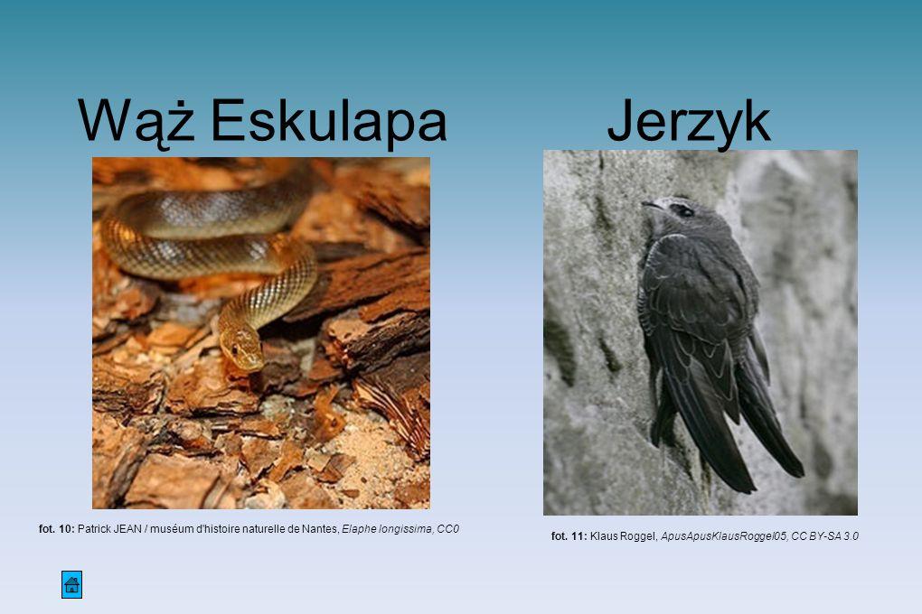 Wąż Eskulapa Jerzyk. fot. 10: Patrick JEAN / muséum d histoire naturelle de Nantes, Elaphe longissima, CC0.