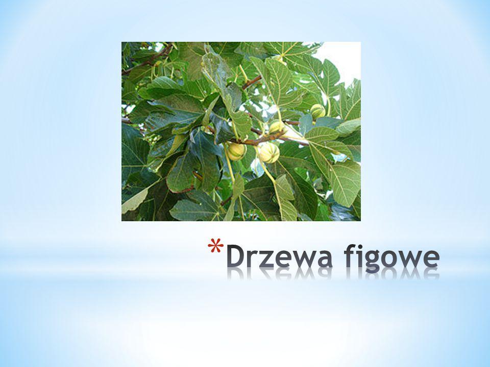 Drzewa figowe