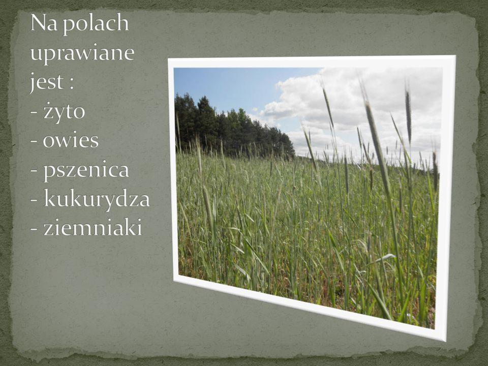 Na polach uprawiane jest : - żyto - owies - pszenica - kukurydza - ziemniaki