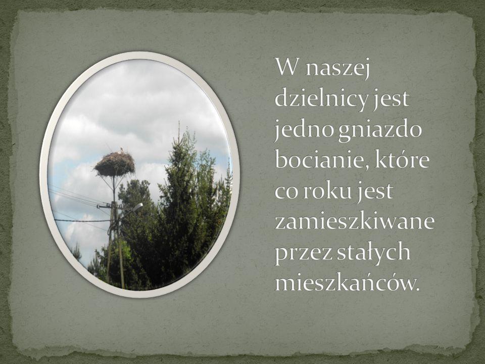 W naszej dzielnicy jest jedno gniazdo bocianie, które co roku jest zamieszkiwane przez stałych mieszkańców.