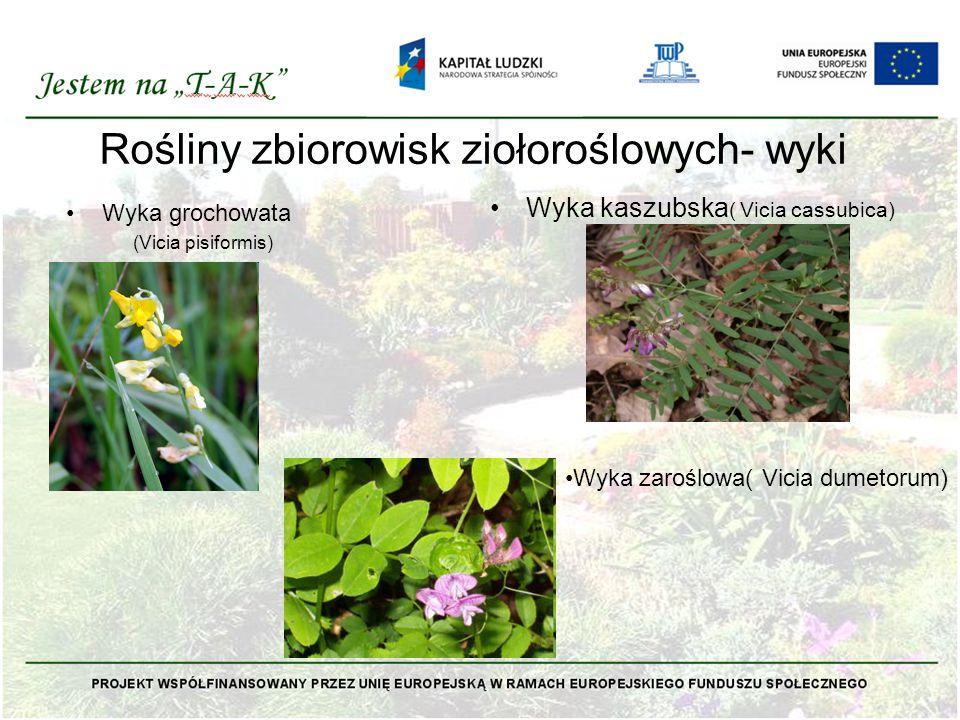 Rośliny zbiorowisk ziołoroślowych- wyki