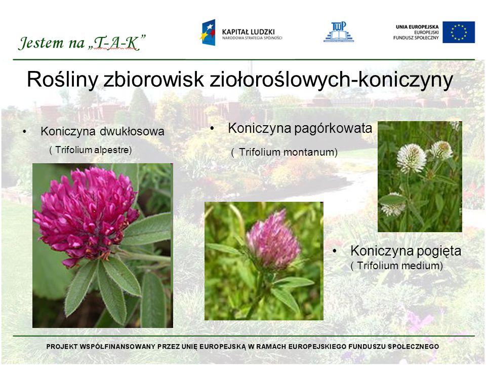 Rośliny zbiorowisk ziołoroślowych-koniczyny