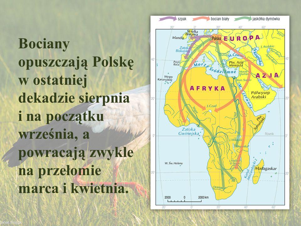 Bociany opuszczają Polskę w ostatniej dekadzie sierpnia i na początku września, a powracają zwykle na przełomie marca i kwietnia.