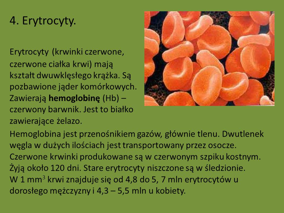 4. Erytrocyty.