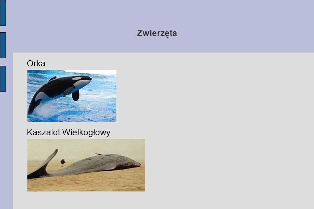 Zwierzęta Orka Kaszalot Wielkogłowy