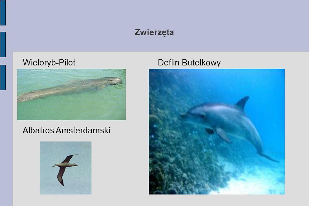 Zwierzęta Wieloryb-Pilot Deflin Butelkowy Albatros Amsterdamski