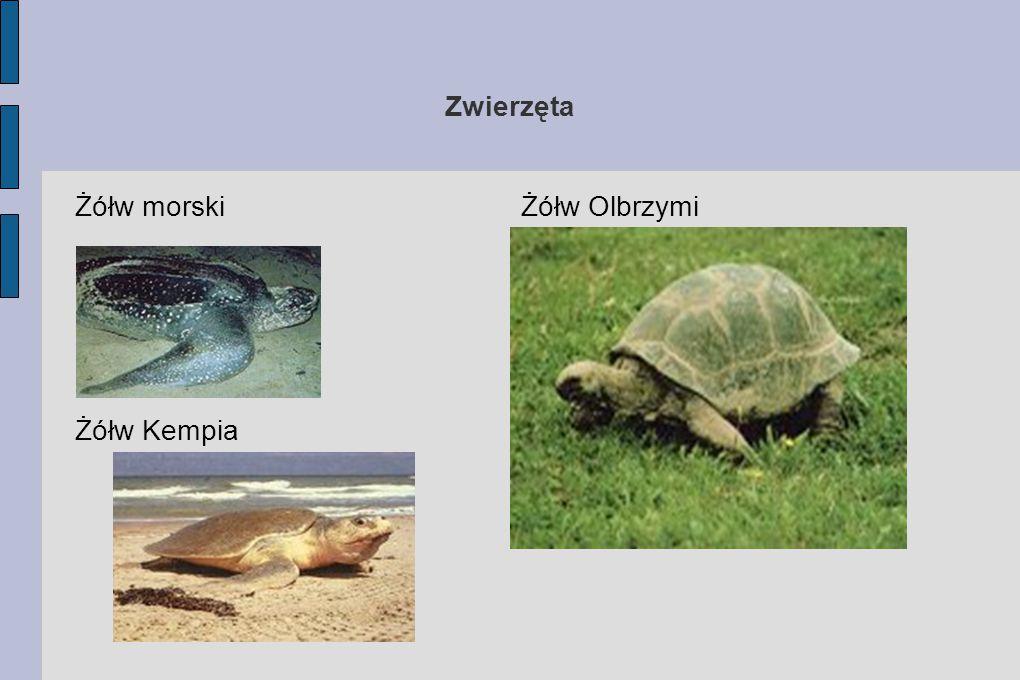 Zwierzęta Żółw morski Żółw Olbrzymi Żółw Kempia