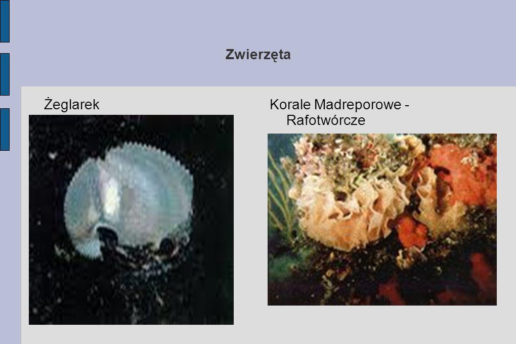 Zwierzęta Żeglarek Korale Madreporowe - Rafotwórcze