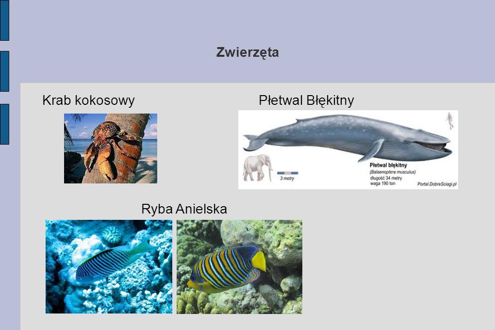Zwierzęta Krab kokosowy Płetwal Błękitny Ryba Anielska