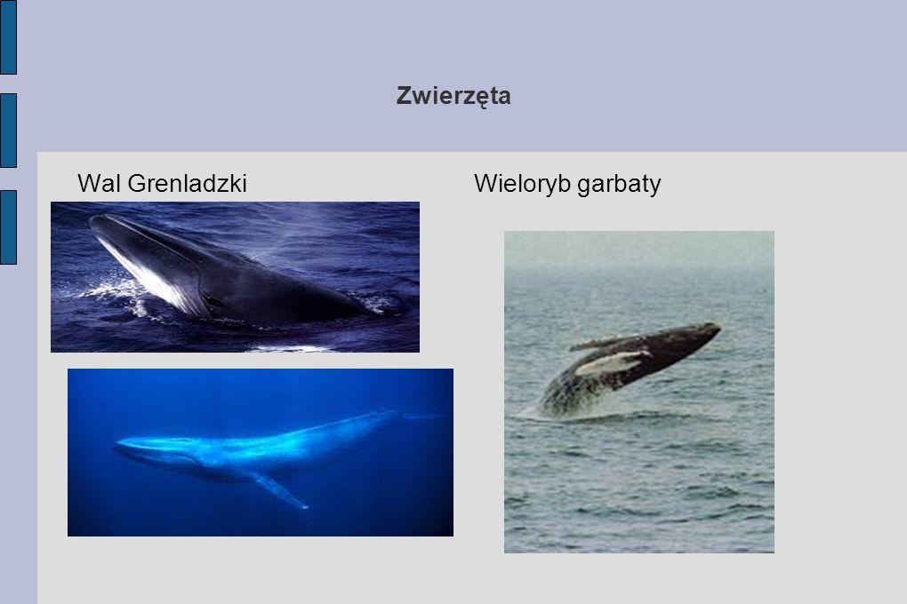Zwierzęta Wal Grenladzki Wieloryb garbaty