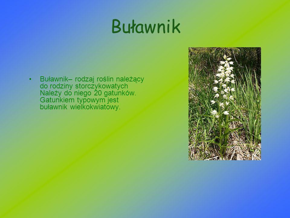 Buławnik Buławnik– rodzaj roślin należący do rodziny storczykowatych Należy do niego 20 gatunków.
