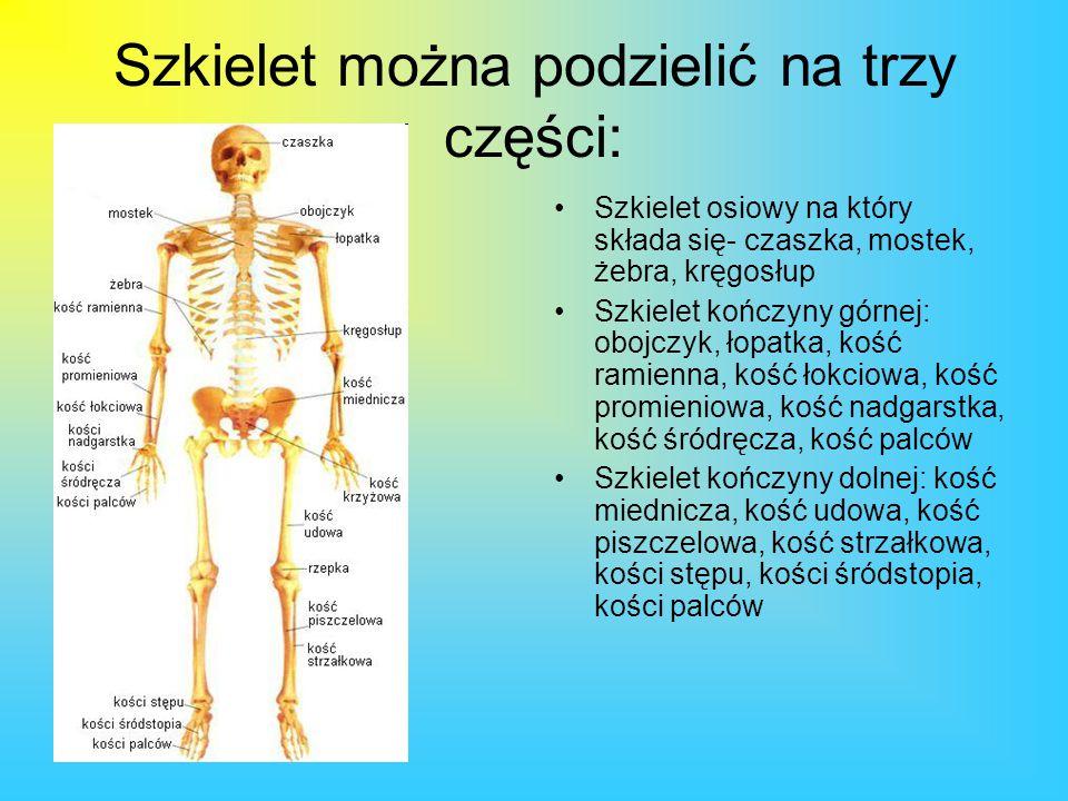 Szkielet można podzielić na trzy części: