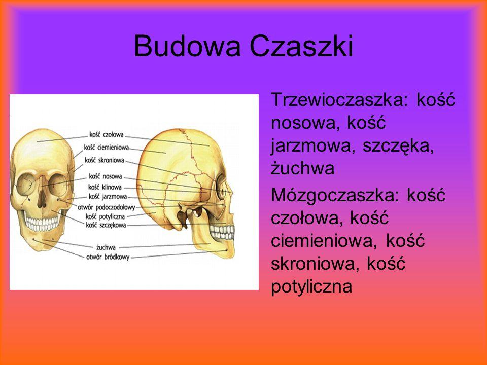Budowa Czaszki Trzewioczaszka: kość nosowa, kość jarzmowa, szczęka, żuchwa.