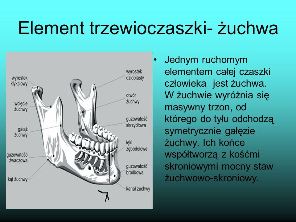 Element trzewioczaszki- żuchwa