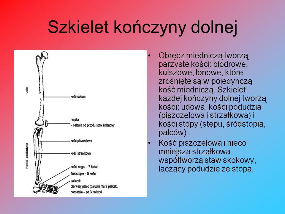 Szkielet kończyny dolnej